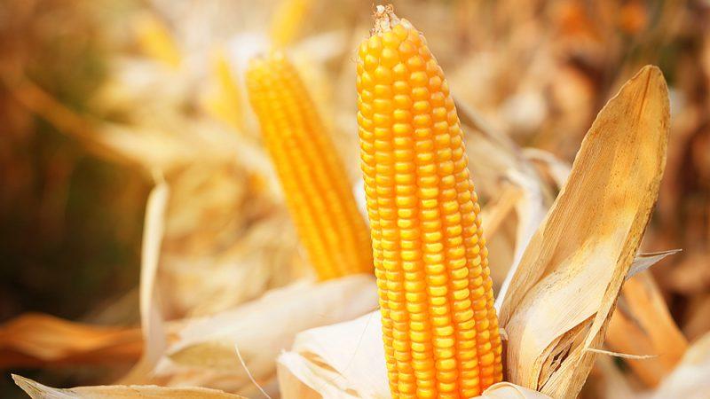 Рецепт кукурузы на зиму