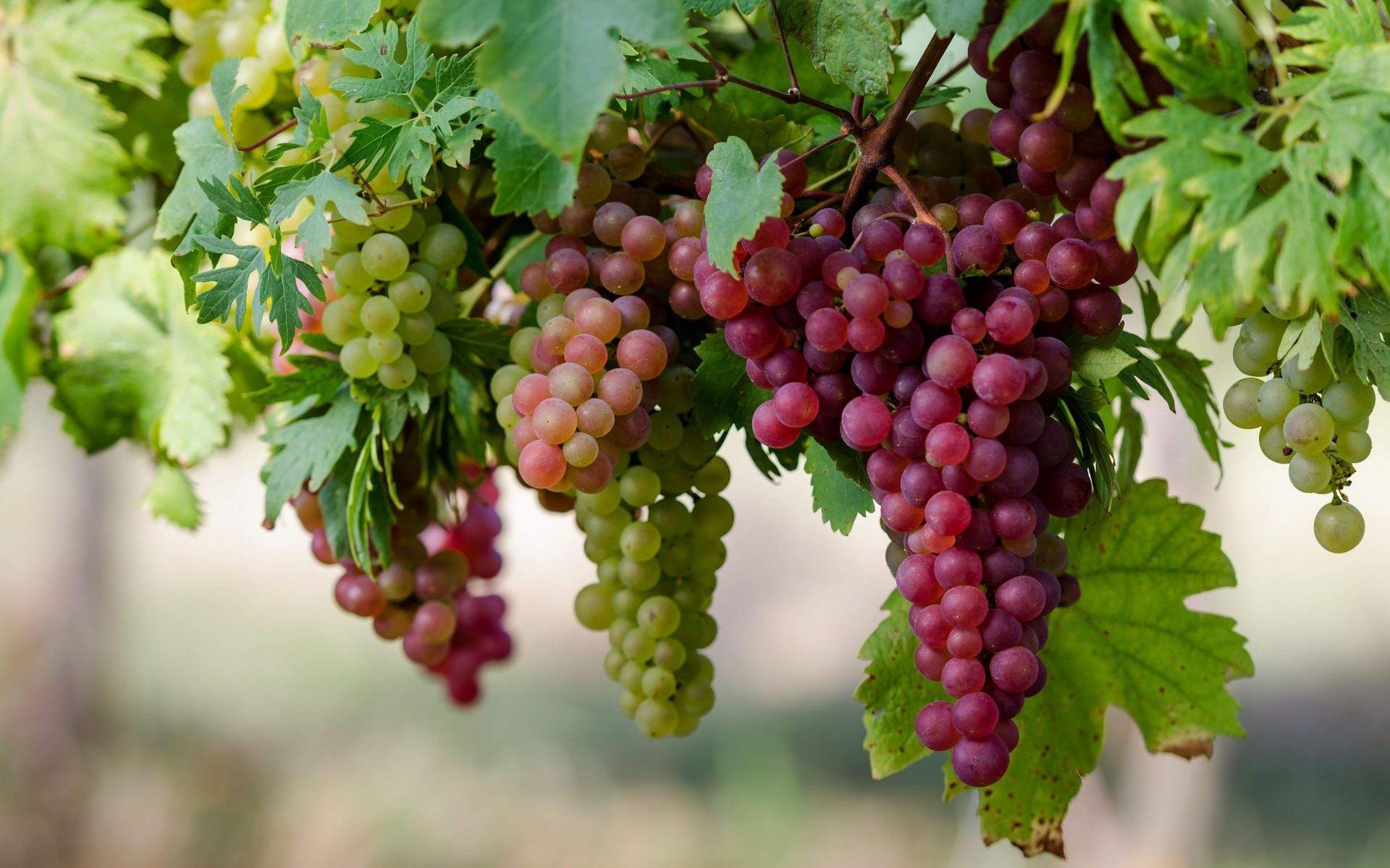 Винограды рекомендации