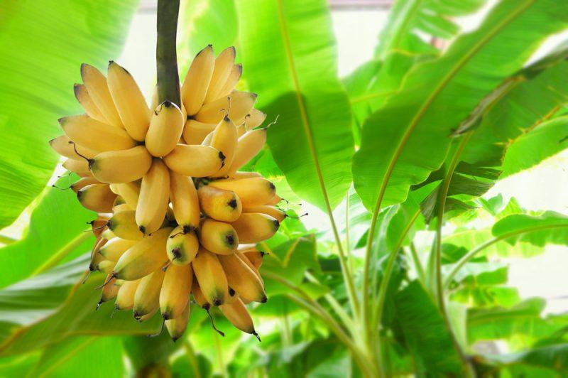 На фото бананы на ветке